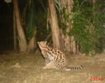 "ocelot ""captured"" by camera trap at Playa de Oro Reserve in Ecuador"