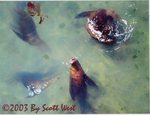 'Curious' (California Sea Lions at Monterey) acrylic and watercolor on canvas 2003 by Scott West