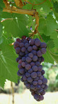 America's first 100% certified Brunello sangiovese grapes ready to be picked.