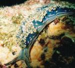 Blue Nudibranch