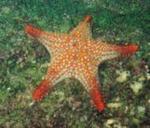 Baja Sea Star