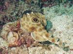 Electric Ray