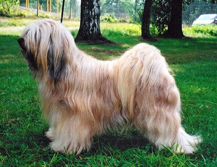 Le Terrier Tibétain Ricko