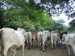 Cows in Road in Guanacaste