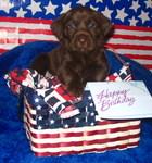 July 2005 Championship Labrador Puppy