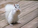 One of Brevard N.C.'s famous white squirrels taking a peanut break.