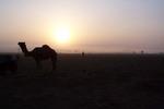 Camel at Camp