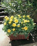 Sunblaze Roses are bred for small space gardens.