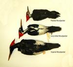 Woodpecker Size Comparison