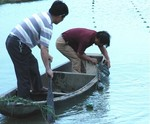 Mussels being collected from farm