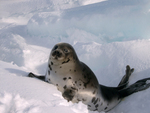 Seals Now May Have Hope