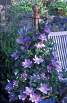 Perk-up patios or small garden spaces with the Raymond Evison Patio Clematis