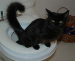 CitiKitty Toilet Trained Cat