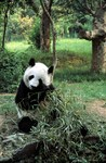 NatureFootage features breathtaking footage from across the world, including images like this giant panda from NHNZ. PHOTO CREDIT: NHNZ