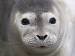 Shellspot, a young harbor seal pup, rescued by The Marine Mammal Center