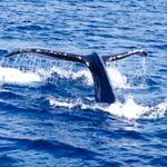 Humpback whale in Kodiak, Alaska