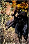 Maine's Mascot-The Bull Moose
