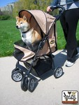 Shiba Inu Dog in a Jeep® Wrangler Pet Stroller