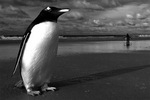 Winning photo of two Gentoo Penguins by Nico Housen of Belgium.