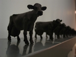 Glasgow Herd to be sacrificed to Public