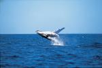 Whale Watching at Hervey Bay
