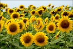 Farmers are turning to crop specific chemigation systems for crops such as sunflowers, among many others.