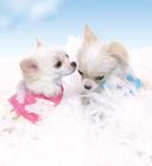 Little Love Angel Pups