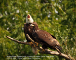 Mother Eagle with eighteen-week-old eaglet. Photo: Lisa Loucks Christenson