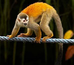 The Titi Monkey