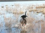 Hunting Dog Retrieving Duck