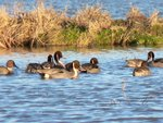 Ducks on Pintail Farms Lake