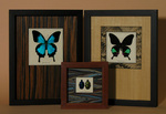 Three Phyllidae framed insect displays