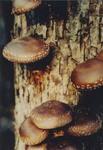 Shiitake mushrooms growing on an oak gift log.