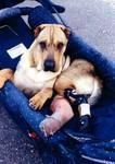 Samson, OSLF Pet in Need