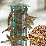 Duncraft Sonata Nyjer Feeder (No. 2395  $39.95) filled with our Fancy Finch Mix (No. 2484  5 lbs. for $10.95)