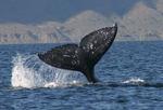 Mendocino Whale Festival Pacific Mist Inn