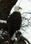 Bald Eagle Roosting, Lower Klamath National Wildlife Refuge