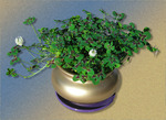Pot of Four Leaf Clovers