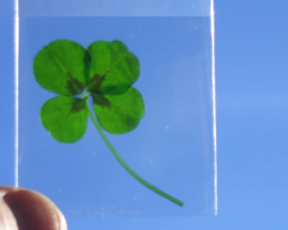 genuine four leaf clover plants are now available