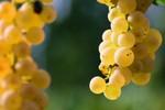 Grapes in Italian Vinyard