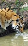 My Brothers' Keeper Tiger Refuge