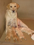 A Guiding Eyes Brood dog with her guide dog puppies