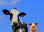 300dpi jpg. Pig sees some farm animals.