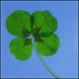 World's First Four Leaf Clover Plant Enters Novelty Gift Market