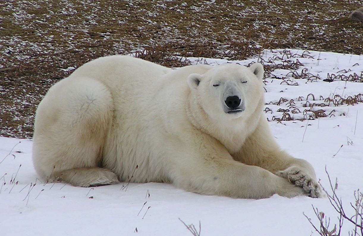 relaxing in the tundrajpg of polar bear lying down