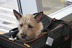 Air Travel for Pets