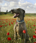 Weimaraner in Field of Poppies