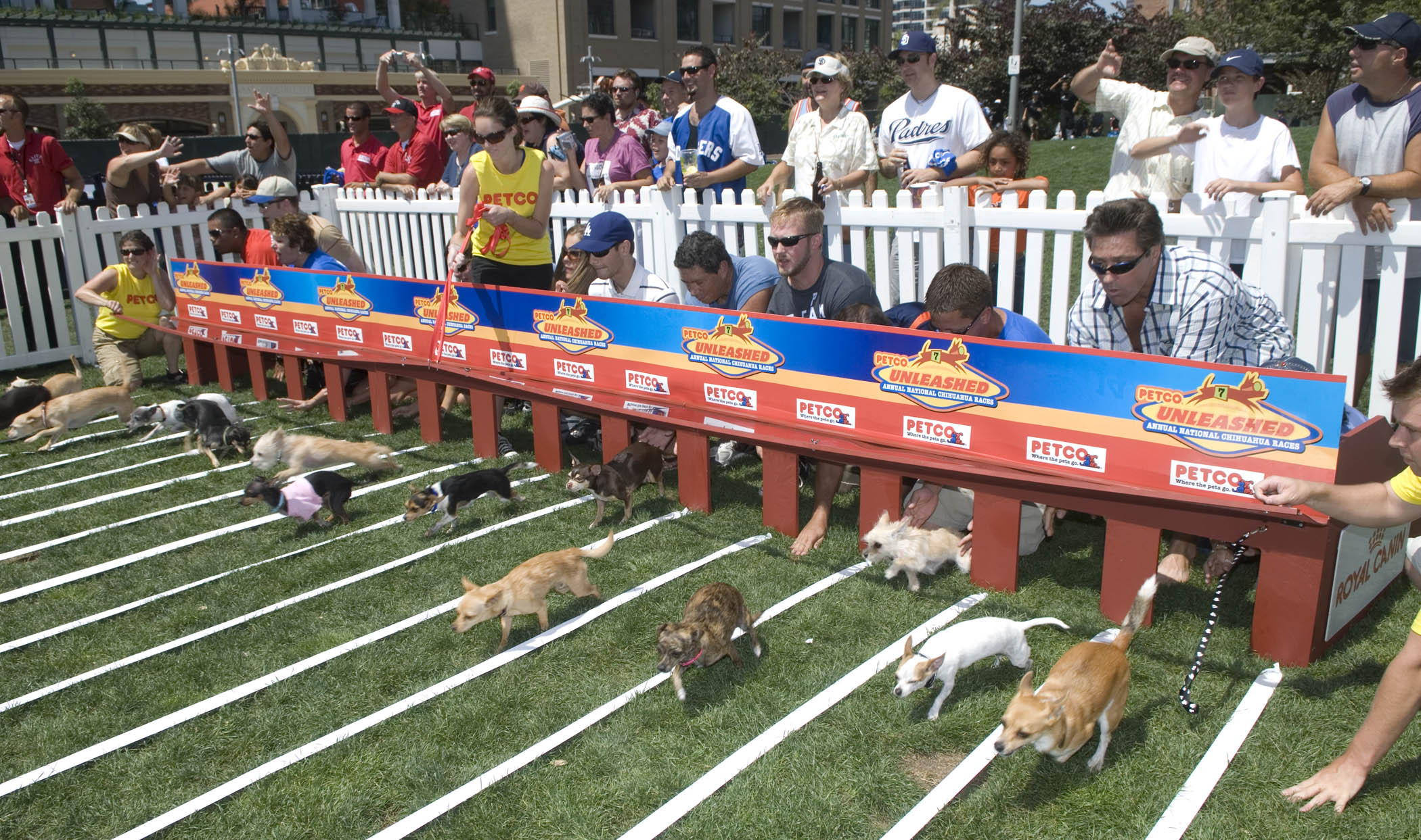Petco - At San Diego S Petco Park The Third Annual Petco Unleashed Chihuahua Race Brought Together 15 Of The Nation S Fastest Chihuahuas
