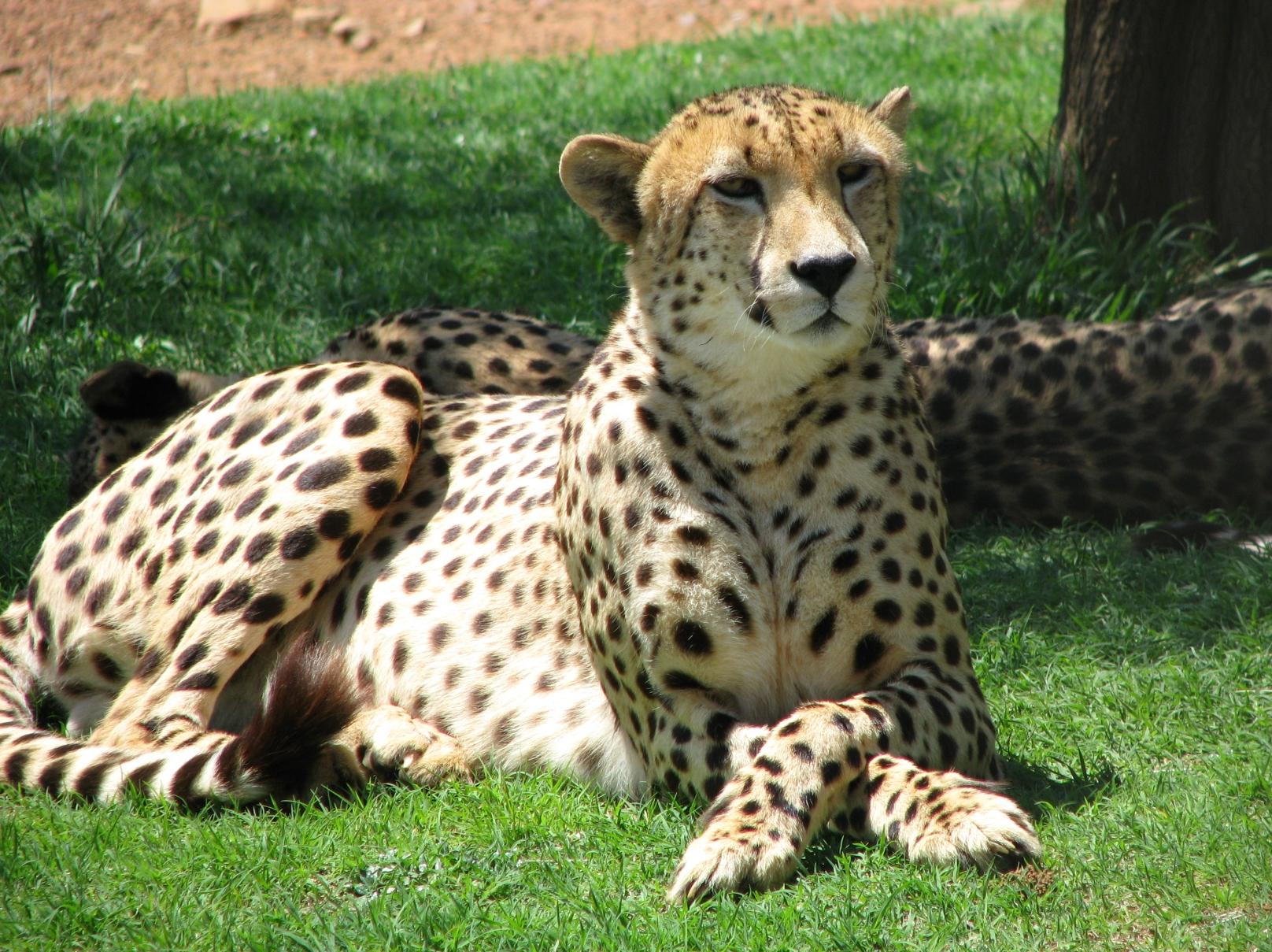 cheetah injury a rare event