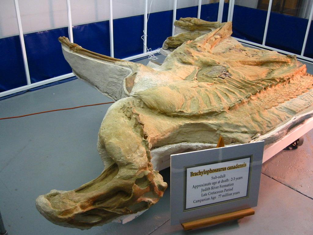 1024 x 768 jpeg 270kBBrachylophosaurus